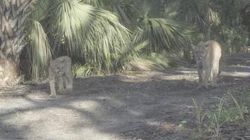 Florida Panther and Kitten Captured in Rare Camera Trap Footage