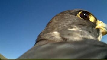 POV: Ride on the Back of a Soaring Falcon