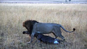 Why Is This Lion Dragging Around Its Breakfast?
