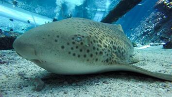 "Endangered Shark Gives Rare ""Virgin Birth"""