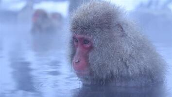 Meditative Snow Monkeys Hang Out in Hot Springs