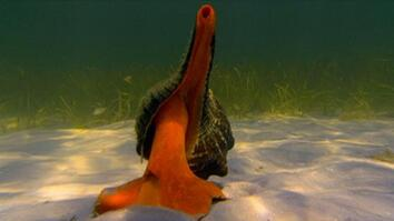 Hermit Crab vs. Horse Conch