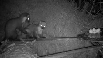 See Two Pine Martens Start a Food Fight