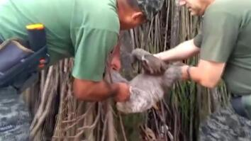 Sloth Saved from Train Track and Released to Brazilian Rainforest