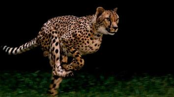 Cheetahs: National Geographic Films World's Fastest Animal