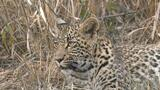 Leopards Thandi and Tlalamba Morning Playtime