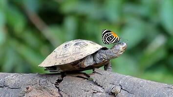 Did You Know Butterflies Drink Turtle Tears?
