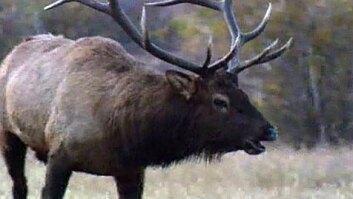 Bugling Elks
