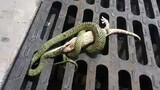 Fight Between Gecko and Snake Has a Surprising End