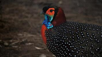 See why this colorful 'king of birds' is the center of conservation efforts