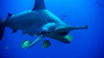 deadliest hammerhead sharks world s deadliest hammerhead sharks