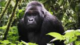 Explorer: Close Gorilla Encounter