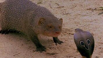 Cobra vs. Mongoose