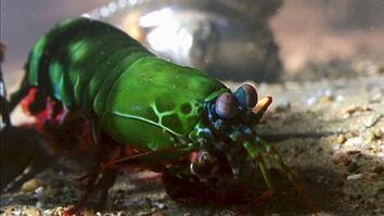 World's Deadliest: Shrimp Packs a Punch