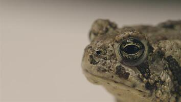 Can We Save These Rare Toads From Extinction?