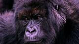Gorilla Massacre Investigation