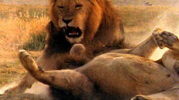 World's Deadliest: Lion vs. Lion