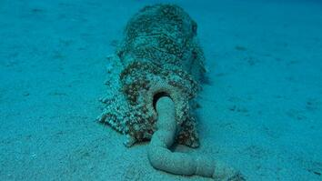 Sea Cucumber Poop Is Surprisingly Good For the Ecosystem