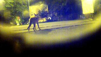 Crittercam POV: The Urban Coyotes
