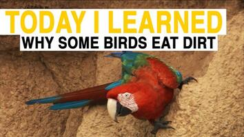 TIL: Why Do These Birds Eat Dirt?