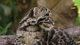 Clouded Leopard Breeding