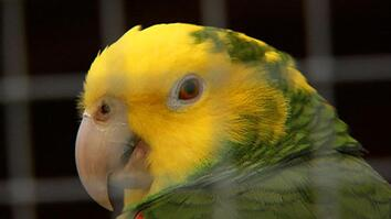 Deadly Virus Pushes Parrots to Brink of Extinction