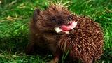 World's Weirdest: Hedgehogs Love Poisons