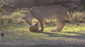 Watch a Lion Try to Eat a Tortoise