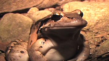 """Mountain Chicken"" Frog at Risk"
