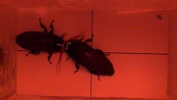 Cockroach vs. Cockroach: Watch How These Insects Fight For Love