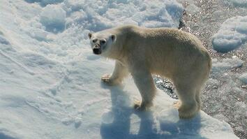Polar Bear Encounter in Canada's High Arctic
