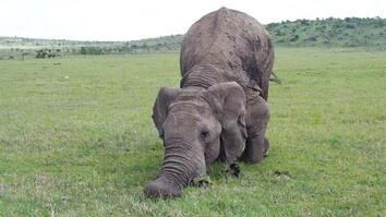 Elephants Communicate While at Play
