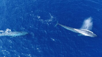 Watch: 'Flirting' Blue Whales Caught on Camera
