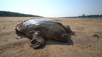 Rare giant soft-shell turtle released into the wild