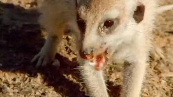 Meerkat Survival Tactics