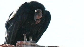 Arizona Condors