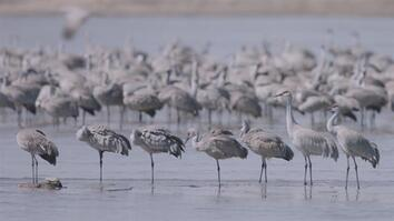 Watch Thousands of Cranes Take Flight in One of Earth's Last Great Migrations