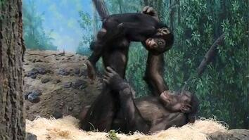 "Young Bonobos ""Play Airplane"" at Cincinnati Zoo"