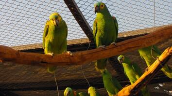 Juliana Machado Ferreira: The Stolen Birds of Brazil