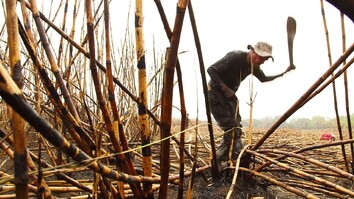 The Human Cost of Sugar Harvesting