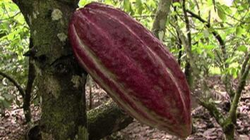 Chocolate to Save Forests?