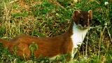 World's Deadliest: Stoat Hypnotizes Rabbit
