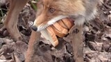 Chernobyl Fox Makes a Six-Layer Sandwich