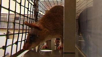 Mine Detection Rats