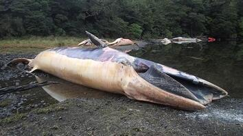 See what happens after a mass whale stranding