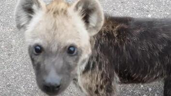 See Baby Hyenas Up Close and Personal