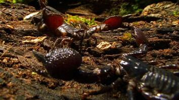 World's Deadliest: Cannibal Scorpions Fight to the Death