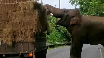 Elephant Engages in Highway Robbery