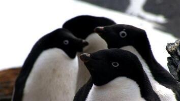 Penguins: No Fail at Mealtime