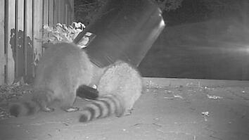 Watch Urban Raccoons Outsmart a Trash Can